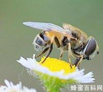 """蜂針是蜜蜂的""""保護傘"""""""