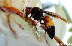 <em>马蜂</em>和蜜蜂的的区别