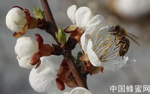 蜜蜂授粉的功效和作用