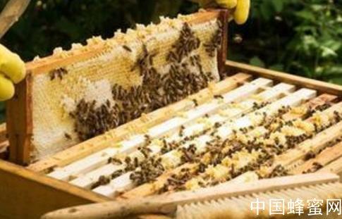 蜜蜂二月可以育王吗