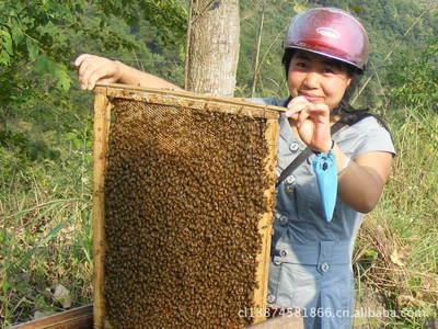 (2018年预定)出售养殖蜜蜂 中华蜜蜂群