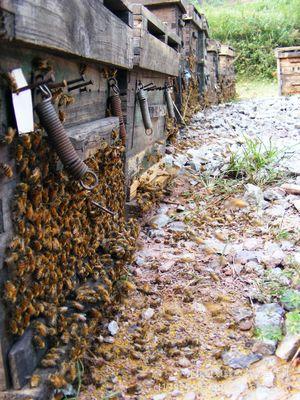蜂场直销蜜蜂 欢迎来人来电洽谈 意大利意蜂 出售蜜蜂