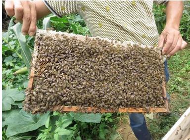 老木顶 蜜蜂中蜂出售