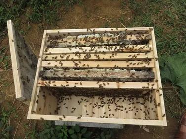 土蜂蜜养殖出售  绿色环保土蜂蜂蜜养殖方法