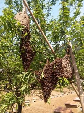 蜜蜂(中蜂) 土蜂蜜养殖技术 绿色环保土蜂蜂蜜销售