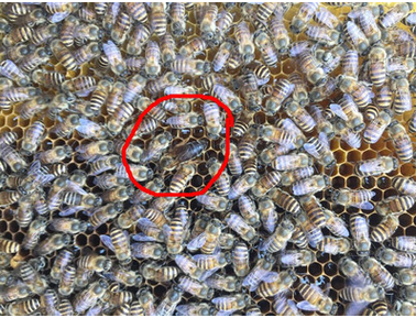兰州土蜂笼蜂蜂群蜂王出售_兰州中蜂出售_兰州蜜蜂购买