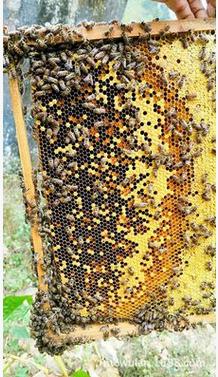 蜂群 中蜂蜂群出售 森野蜂场直销