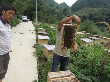 贵州老木顶 蜜蜂中蜂出售土蜂蜜养殖方法