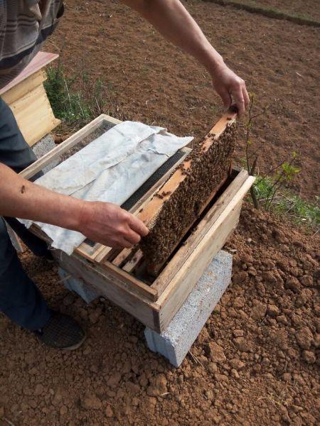 蜜蜂(中蜂) 土蜂蜜出售