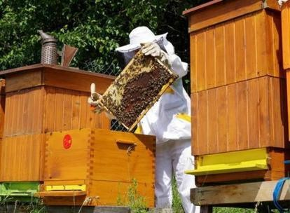 自然分蜂的处理办法