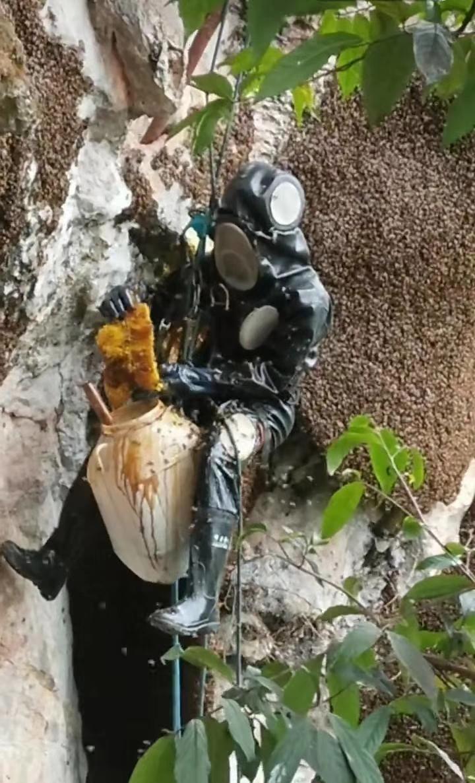 西双版纳原始森林野生岩蜜