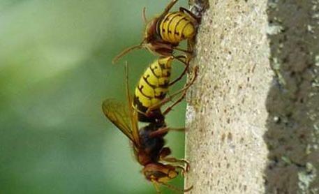 蜜蜂毒和<em>马蜂</em>毒的区别