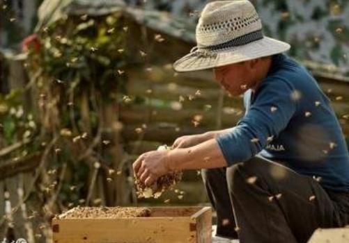 蜜蜂選種、引種<em>和</em>育種