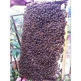 中蜂种蜂蜂群扶贫蜜蜂湖南蜜蜂哥哥良种中蜂种蜂蜂群