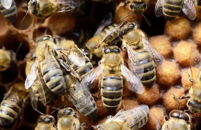 养中蜂的<em>前景</em><em>如何</em>?附中蜂养殖的概况<em>分析</em>