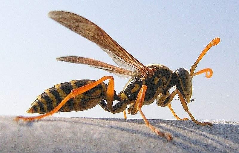 【视频】如何防治马蜂吃蜜蜂?