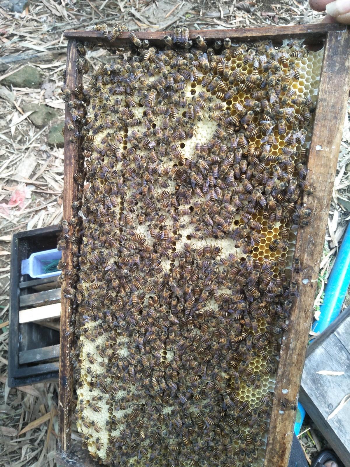 出售中蜂蜂群