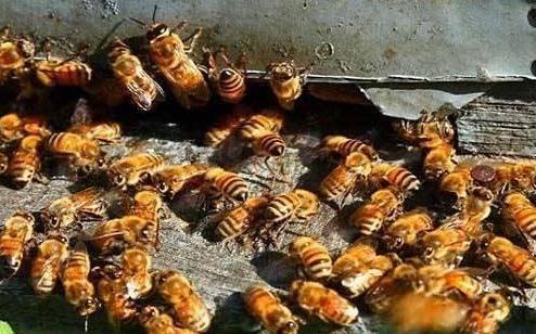 蜜蜂市场目前多少钱一箱?<em>养蜂</em><em>赚钱</em>难的原因是什么?