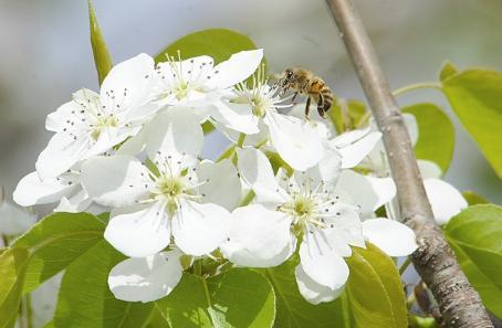 梨树蜜蜂授粉