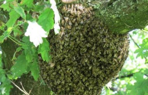 """蜜蜂""""抱""""树而居"""
