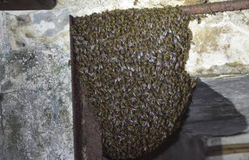 蜜蜂叨扰居民