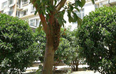 """蜜蜂在居民楼前""""安营扎寨"""""""
