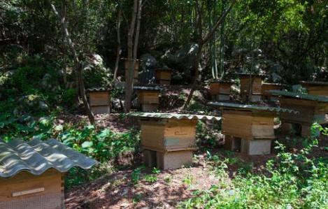 男子偷蜜蜂授粉