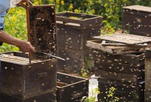 养蜂生活甜如蜜