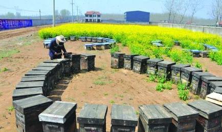 养蜂人追逐花期