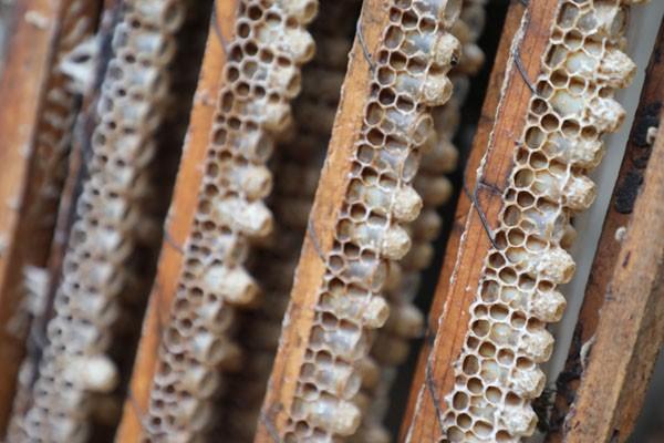 蜂乳<em>和</em><em>蜂<em>王漿</em></em>的<em>區別</em>?蜂乳的功效與作用是什么?