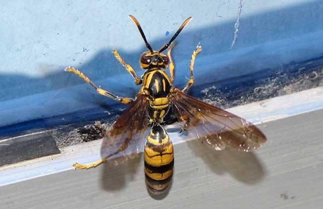 <em>马蜂</em>和蜜蜂的区别,<em>马蜂</em>和黄蜂有<em>蜂蜜</em><em>吗</em>?